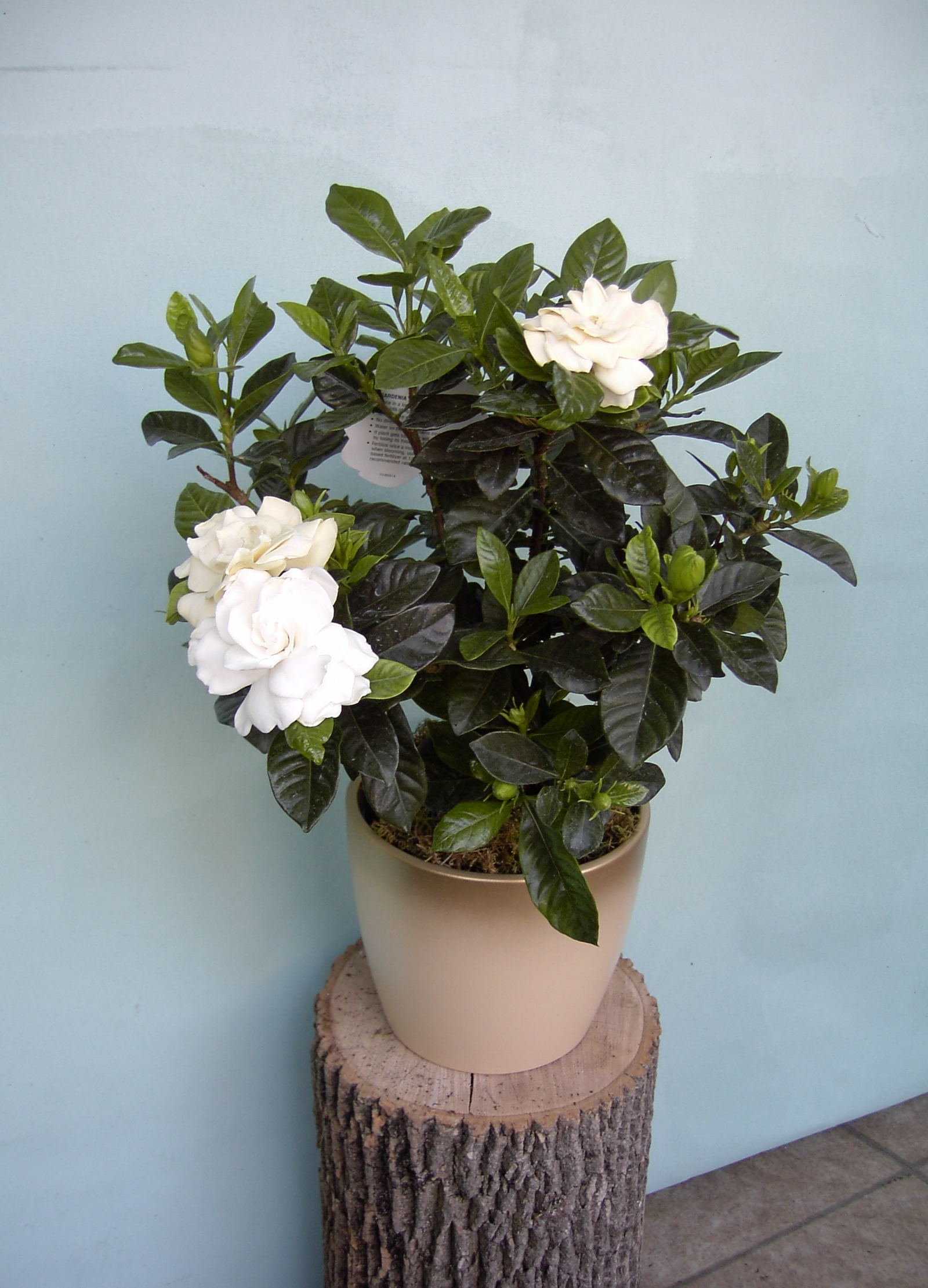 helleborus and gardenia plants