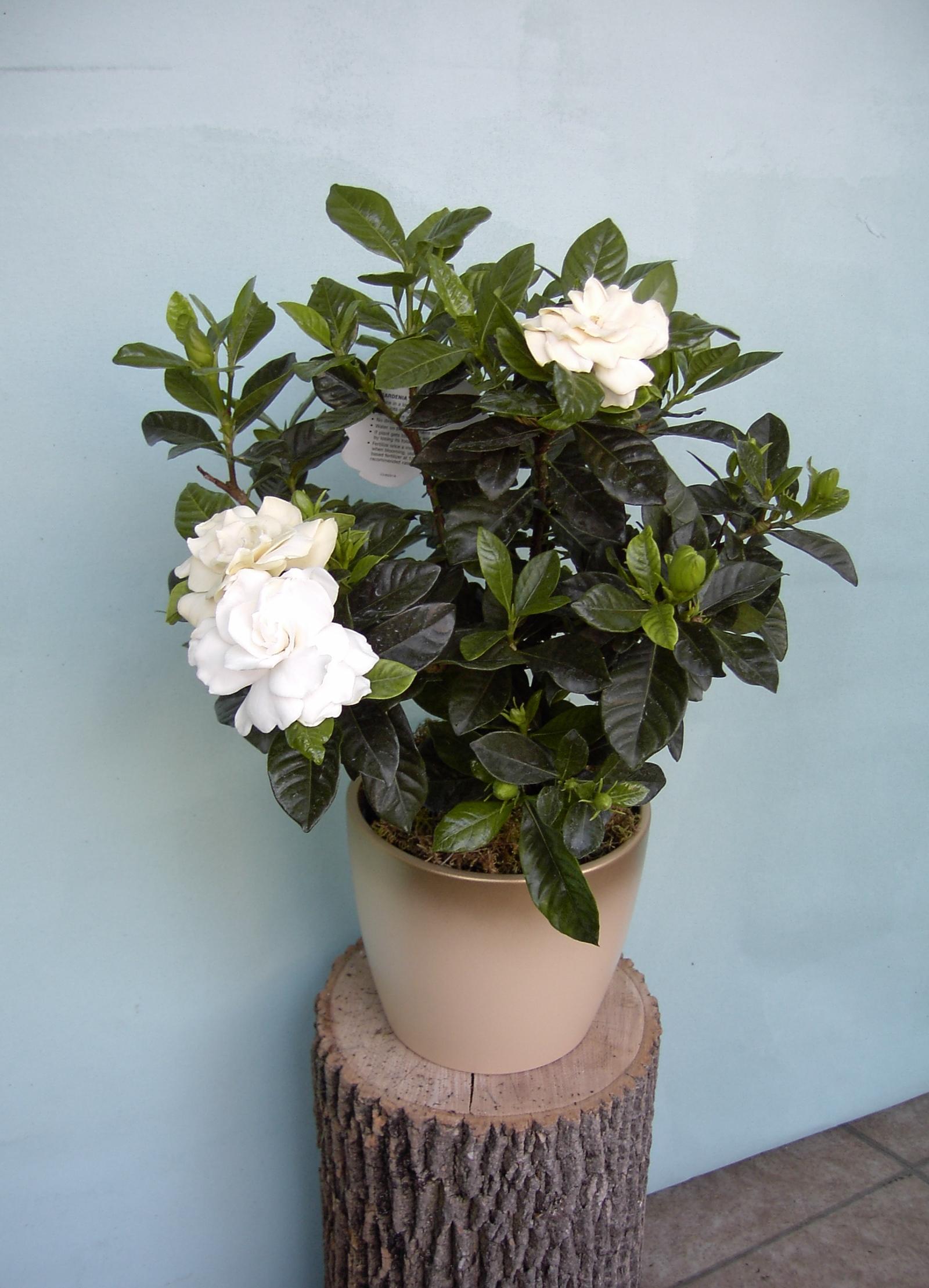 helleborus and gardenia plants