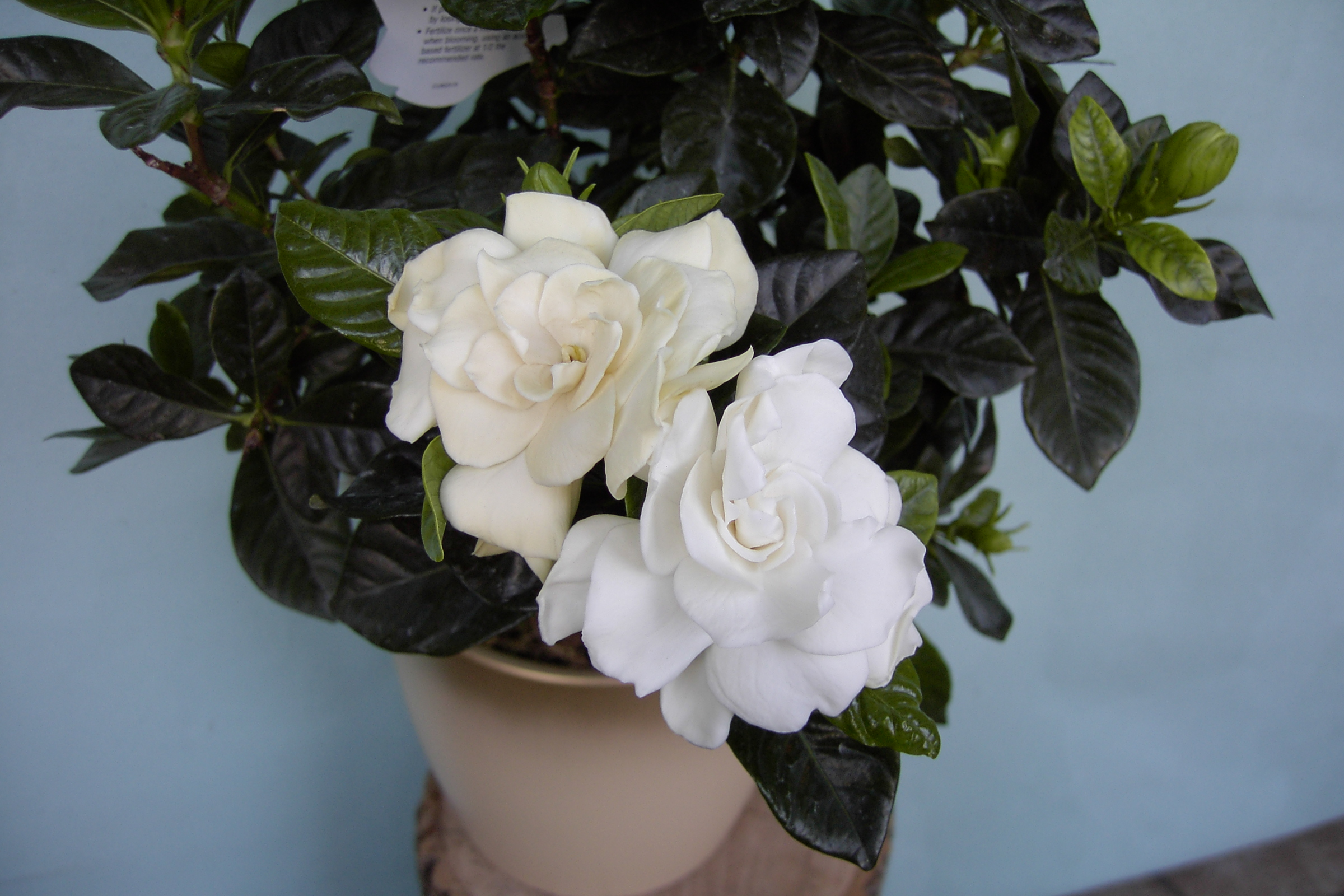 Helleborus And Gardenia Plants Martin 39 S The Flower People