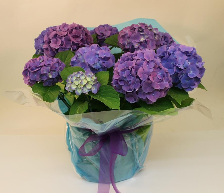 Hydrangea plant blue/purple