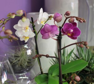 Purple and white mini orchid plants