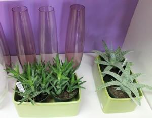 Mini aloe vera plants