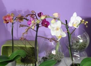 Miniature orchid plants