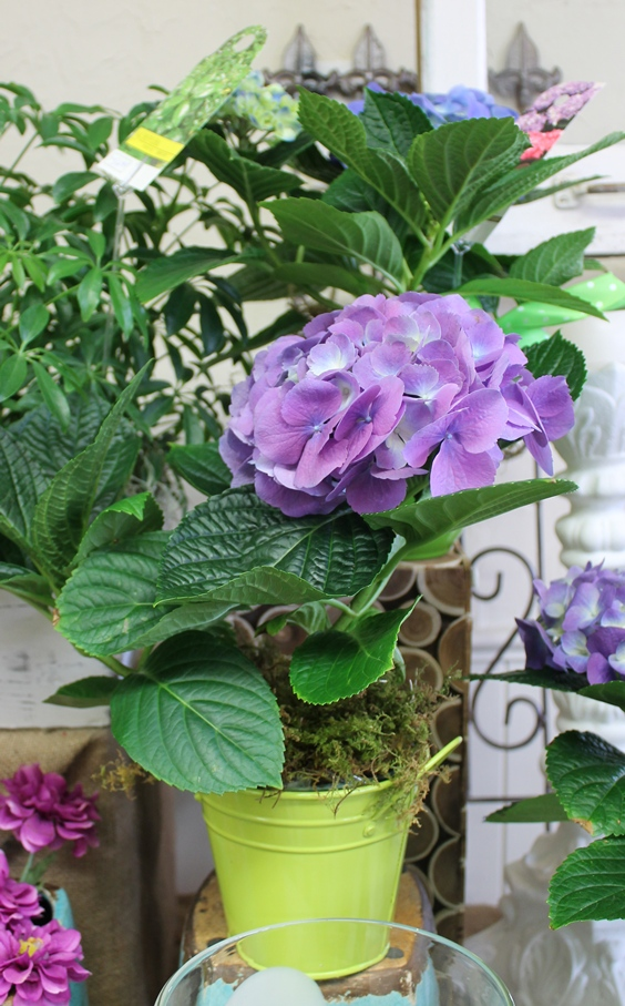 Easter gifts and plants martins the flower people cute miniature hydrangea negle Choice Image