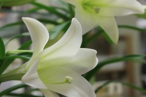 Easter lily bloom