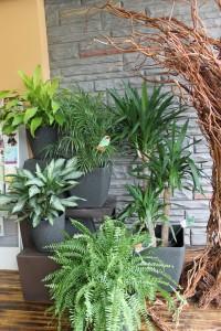 Dracaena Yucca Palm Plants