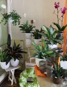Lipstick plant, calla lily, aglamena